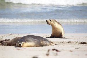 Australian sea lions (Neophoca cinerea)