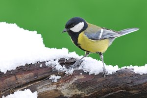 Great tit on snowed branch.