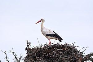 White stork.