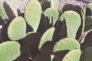 Cactus in West Texas