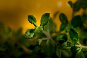 Thymus citriodorus fresh