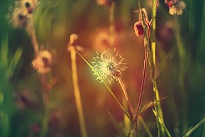 Wildflowers in sunset light