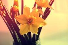 Yellow daffodils (narcisus) flowers