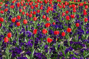 red tulips and pansy