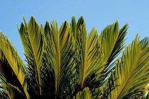 cyca leaves