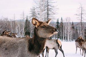 Portrait of adult red deer