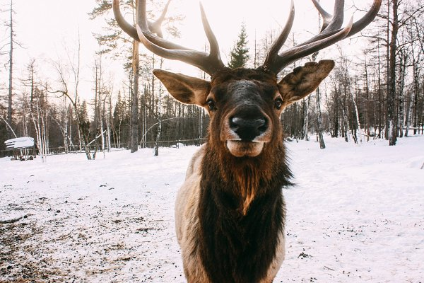 Portrait of Royal red deer buck wit…