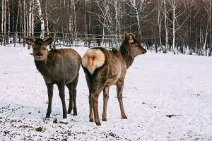 Fawns, young red brown deer in winter