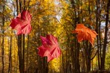 Autumn Fall leaves drop into lake