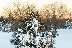Snow blizzard on fir tree