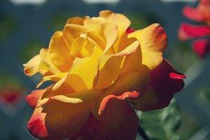 Sunburst Rose 1 (Photo)