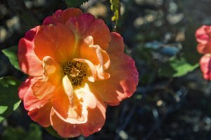 Sunburst Rose 2 (Photo)