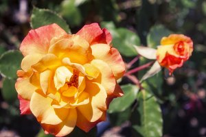 Sunburst Rose 3 (Photo)