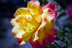 Sunburst Rose 4 (Photo)