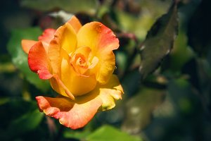 Sunburst Rose 5 (Photo)