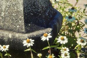 Garden Daisies (Photo)