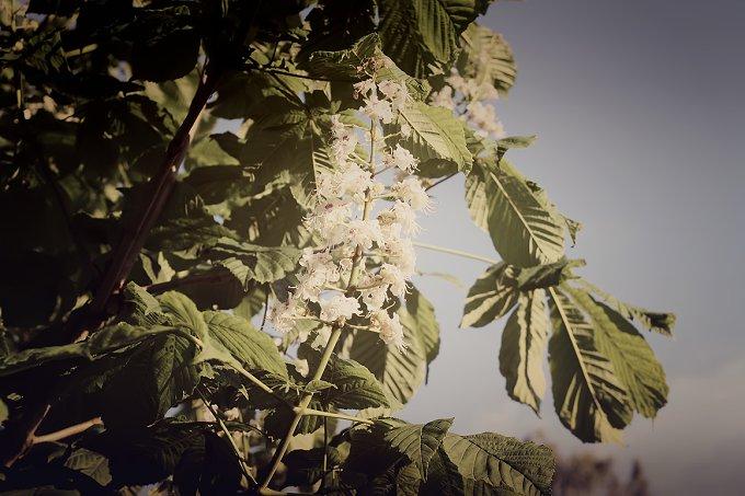 Chestnut flowers. Vintage card. - Nature