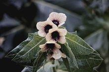 Black Henbane flowers.
