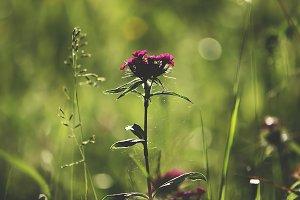 Garden pink carnation flowers