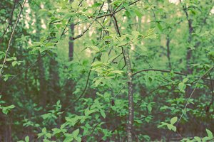 Spring green forest. Bird-cherry.