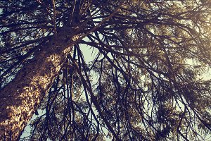 Ye Old Sunny Pine Tree
