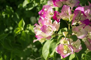 Bougainvillea Blooms