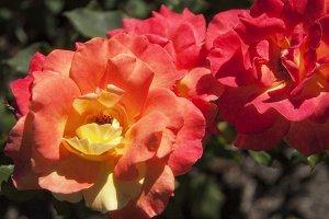 Peach Roses (Photo)
