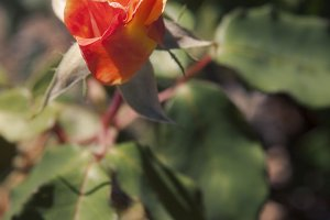 Peach Rosebud (Photo)