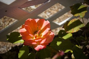 Peach Rose and Latticework (Photo)