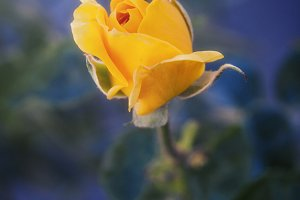 Yellow Rosebud (Photo)