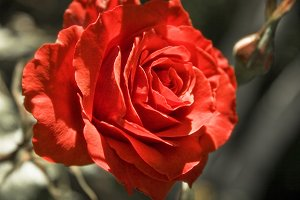 Red Rose (Photo)