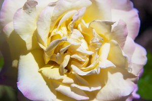 Light Yellow Rose (Photo)