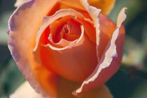 Perfect Peach Rose (Photo)