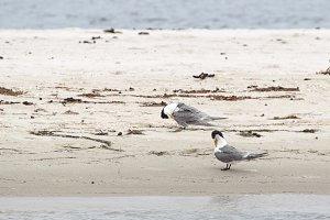Greater Crested Terns (Thalasseus bergii)