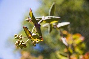 Hanging Green Berries (Photo)