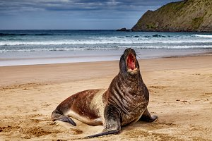 Wild sea lion on the beach