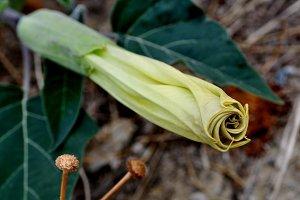 stramonium diagonal flower