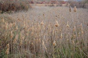 Wetland reeds of a marsh