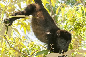 Howler monkey in tree