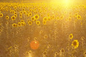 Golden sunflowers field