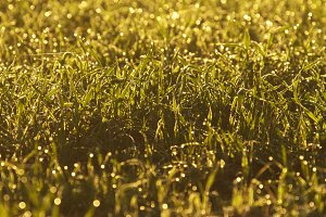 Dew on a green field