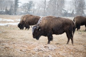 Bison in the spring snow