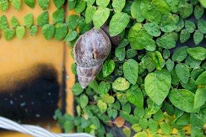 Garden snail in Taiwan