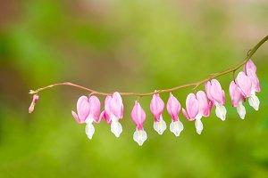 Bleeding Heart flowers on stem