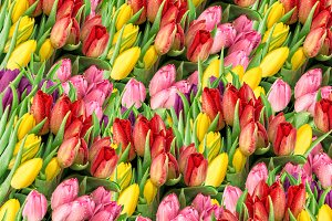 Tulip flowers. Fresh spring blooms