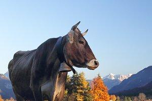 Cattle in Bavaria