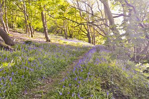 Bluebells in Whitwell