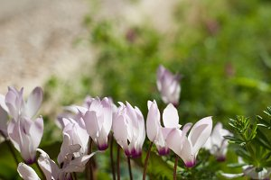 Pale purple cyclamen flowers