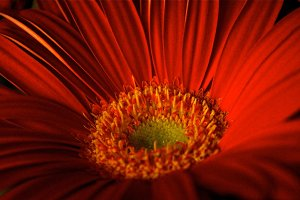 Crimson Gerbera 2