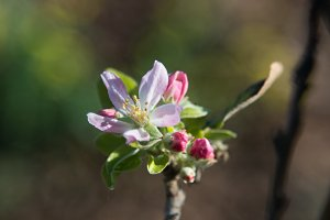 Spring apple flowers